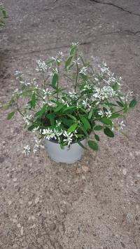 Zauberschnee (Euphorbia hypericifolia)